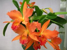 Slc. Jewel Box 'Orange'