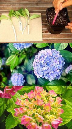 hydrangea garden care Propagate Hydrangea cuttings in 2 easy steps and multiply your favorite beautiful Hydrangea plants for free! Plus a FAIL PROOF propagation secret! - A Piece of Rainbow Outdoor Plants, Garden Plants, Transplanting Hydrangeas, How To Propagate Lavender, Hydrangea Landscaping, Landscaping Ideas, Backyard Landscaping, Backyard Ideas, Endless Summer Hydrangea