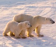 Take Action: Polar Bears and Wildlife in Peril