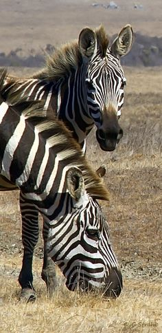 Zebras at Hearst Ranch, San Simeon, San Luis Obispo, California