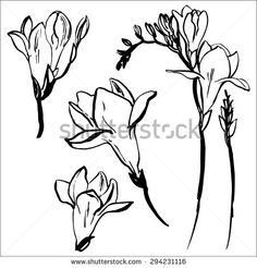 Freesia painted a black line on a white background vector -
