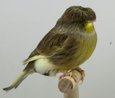 gloster canary. aka, that smug bird with the bowlcut.