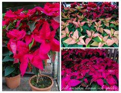 Alter, Plants, Christmas Stars, Plant, Planets