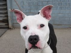 """TO BE DESTROYED THUR 1/9/14 - Brooklyn Center    BRUNO - A0988601   MALE, BLACK / WHITE, PIT BULL MIX, 8 mos  STRAY - ABANDON   ★ BRUNO ★ is such an awesomely good boy he received an AVERAGE RATING on his safer/behavior evaluation!!!  At 8 MTS. THIS IS JUST A BABY!!!!  Bruno is a loving, playful puppy!!! He's completely adorable and a GOOD boy! He seems house trained and knows how to """"sit.""""  This handsome boy deserves a chance at a life! How big is your heart tonight?"""