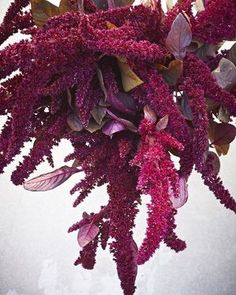 Hopi Red Dye Amaranth. As the name implies, a great dye plant and beautiful addition to the salad bowl!  Homestead Design Collective.