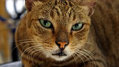 Cute Cat with Beautiful Green Eyes - http://www.1pic4u.com/blog/2014/10/06/cute-cat-with-beautiful-green-eyes/