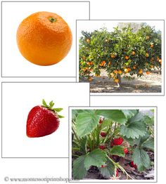 Fruit and Plant Matching Cards - Printable Montessori Science Materials for Montessori Learning at home and school.
