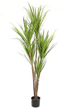 Artificial 6ft / 180cm Dracena Marginata Palm Tree Bamboo Tropical - Incredibly Realistic and High Quality - Perfect for Offices / Homes - Blooming Artificial Blooming Artificial http://www.amazon.co.uk/dp/B00BQA38FW/ref=cm_sw_r_pi_dp_IWzdvb0B39GC9
