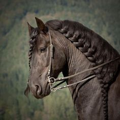 Braided mane and forelock