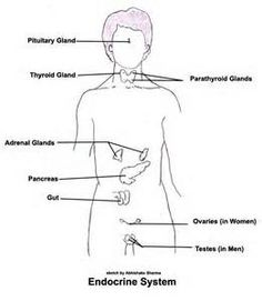 Endocrine System Diagram Unlabeled endocrine system unlabeled ...