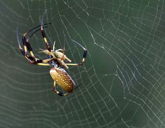 The Brazilian wandering spider - even banana spider or Armadeira - has the most deadly poison. This big and aggressive creatures like to hide in shoes or clothes and bite several times when they feel disturbed. This can be fatal if not immediately is an antidote available.