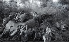 Vulture Buffet by Morkel Erasmus. A brood of Whitebacked Vultures hoard over an elephant that died of natural causes. It's amazing how they could fight with each other over so much food... Equipment: Nikon D3s, Nikkor 70-200mm f2.8 VR-II