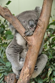 """Oh, hey, y'all, i'm just hangin' around. Whatcha up to? Is that a cookie? Koalas loooovvveeee cookies""-Mr. Snuggles Sidenote:Why do i always imagine koala's speaking like Cleveland from ""Family Guy""?"