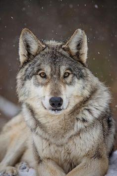 02f1ff52bdfe99de2893044ca0f176ce--wolf-face-cry-wolf.jpg