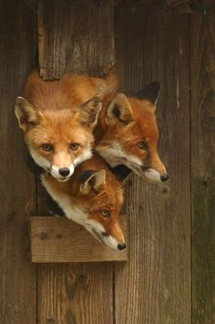 """foxes say """"hello...?"""""""