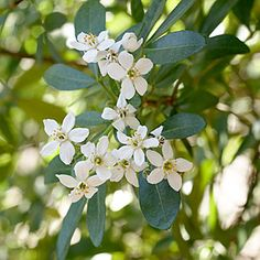 favorite fragrant blossomsMexican orange   (Choisya ternata)    Small white flowers smell like orange blossoms with a hint of gardenia. The evergreen shrub (not a true citrus) reaches 6 to 8 feet tall, and takes sun in cooler climates but part shade elsewhere. Zones 6–9, 14–24.