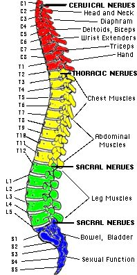 t12 nerve distribution - Google Search