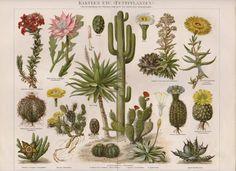 1890 cacti succulent plants Antique Lithographic by PrintsMatters
