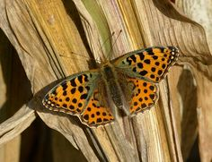 Butterflies of the British Isles - Queen of Spain  Fritillary