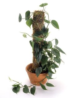 PHILODENDRON - This is a trailing indoor house plant that loves to make its way down from mantles or bookshelves. Its perky, dark green leaves come to a heart shape where they meet the stems.    How to care for it: This may be the quintessential easy indoor plant. It thrives in a range of lighting conditions from low to sunny, preferring indirect light. It does well anywhere close to standard room temperature. Let the surface of the soil dry between watering; it should not be constantly wet.