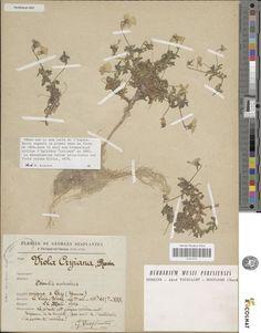 Occurrence Detail 438638612 유럽.프랑스_  많은 석회암 채석장과 식물학자들의 채취에 의한 멸종_ http://www.iucnredlist.org/details/summary/165210/0