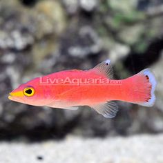 Cave Basslet (liopropoma mowbrayi). Easy, peaceful, reef safe. $200