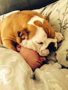 Bulldog puppy, Baby Bow Dog