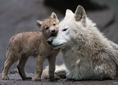 Wolf pups need constant care and affection. Until about a month that care is provided primary the mother.  When the cubs start exploring the entire pack takes responsibility to watch over them.