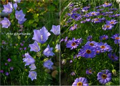 Petra Rosso' Garden. Blue & purple flower bed. Brachycome & Campanula persicifolia . Spring