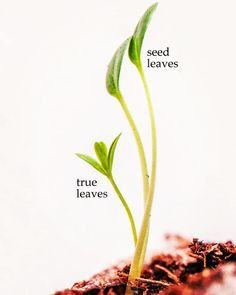 Seed leaves are different from true leaves in both appearance and purpose.  #milkweed #plantmilkweed #seeds #seedlings #sowingseeds #raisingmonarchs #butterflyhabitat #monarchbutterflyhabitat #garden #grow