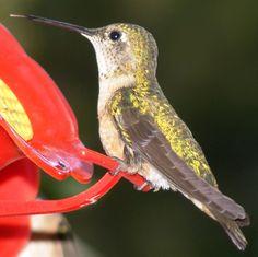 hummingbird-closeup-big.jpg