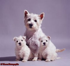 Mama Westie and babies.