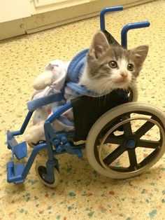 This kitten leaving the vet in his robe and wheelchair.