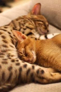 dois gatos deitados um à beira do outro