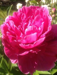Stunning peonies in bloom May 2012