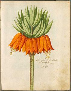 Fritillaria imperialis - Keizerskroon. Door: Wolfgang Philipp Brandt. Uit: Hortulus Monheimensis, 1615.