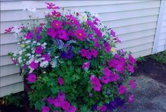 This petunia variety was an All-America Winner for 1995, and it's certainly worth all of the accolades (and the price!). The plants display a unique spreading habit, creeping and vining along the grou