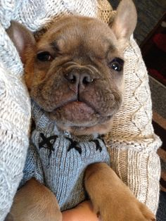 Blue fawn French Bulldog Puppy in a sweater Puppies And Kitties, Cute Puppies, Cute Dogs, Kittens, Blue Fawn French Bulldog, French Bulldogs, Cute Baby Animals, Animals And Pets, Dog Pictures