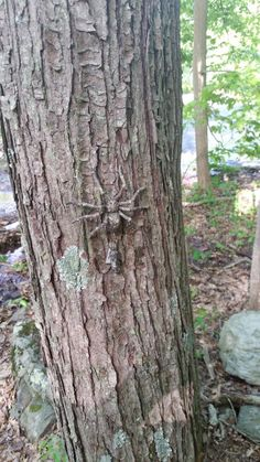 Not your normal creepy crawler (and I'm not just talking about the size).  If you look closely, you can see the camo nano hanging underneath it.  Not a good geocache for anyone with arachnophobia.