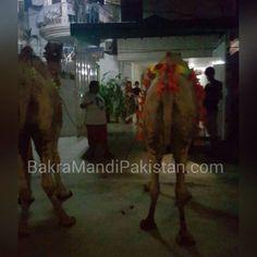 Irfan Ullah Sajjad Bhai nay 3 Lakh k do Camels liyay hen ... Allah Pak Qurbani Qubool Fermay Ameen Join us on www.fb.com/Startfun Visit us www.BakraMandiPakistan.com