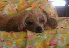 Meet Cinnamon (WY), an adopted Chinese Crested Dog Dog, from Crest-Care Inc. in Trenton, NY on Petfinder. Learn more about Cinnamon (WY) today. Chinese Crested Powder Puff, Chinese Crested Dog, Skye Terrier, Dog Search, Foster Dog, Cute Cats And Dogs, Small Dog Breeds, Losing A Pet, Yorkie