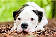 #American #Bulldog.