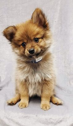 Teacup Pomeranian Tumblr ** You can get more details of pet dogs by clicking on the image.