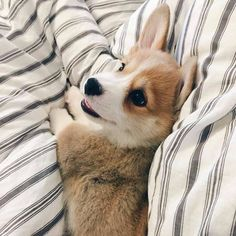 """Acquire wonderful pointers on """"corgi puppies:. They are on call for you on our web site. Cute Baby Animals, Animals And Pets, Funny Animals, Funniest Animals, Nature Animals, Cute Puppies, Cute Dogs, Dogs And Puppies, Teacup Puppies"""