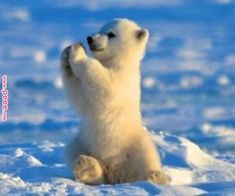 He always does it – Cutest Paw - Baby Animals Adorable Best of 2019 Funny Animal Memes, Funny Animal Pictures, Cute Funny Animals, Cute Baby Animals, Animals And Pets, Funny Memes, Baby Polar Bears, Mundo Animal, Tier Fotos