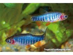 Image result for rasbora fish