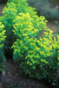 Euphorbia thrives in the difficult conditions commonly found under big trees.Upright spikes of lime green flowers emerge in spring and persist through early summer. The bright flowers show up well above the dark glossy foliage. In better conditions it mak Woodland Plants, Woodland Garden, Bright Flowers, Green Flowers, Back Gardens, Outdoor Gardens, Shade Garden, Garden Plants, Agaves