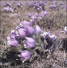 Prairie Crocus--One of my favorite spring wildflowers! I can't wait for spring on the prairies! Best time of year :) Prairie Planting, Spring Wildflowers, Save The Planet, Heartland, Rug Hooking, Four Seasons, The Great Outdoors, Mother Nature, Garden Landscaping