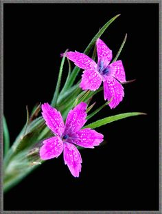Seriously gorgeous close up of a Deptford Pink (Dianthus armeria), more amazing photos at http://www.microscopy-uk.org.uk/