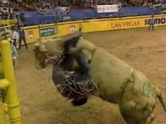 Bodacious slams Jim Sharp - 92 NFR, Rd 9 -- Published on Jul 24, 2012  Its from round 9 at the 1992 National Finals Rodeo. I know people have seen this footage already, but this was the original aired on ESPN. It looked like 2-time PRCA world champion Jim Sharp would easily ride 3-time world champion bull Andrews Rodeo's Dodge Bodacious, but got slammed to the Earth at 7.4 seconds. Notice that neither Jeff Medders or Butch Knowles knew much about the famous bull at the time.